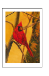 Cheery red cardinal fine art card by Yeshua's Child Art
