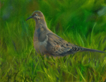 picture of a mourning dove in summer grass