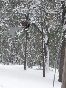 woodpecker eating suet during Michigan winter